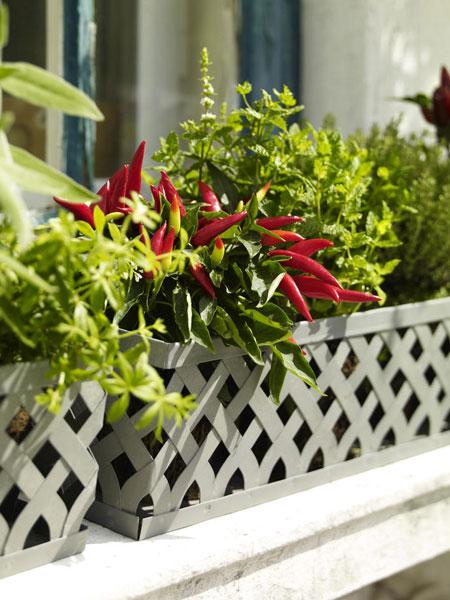 Chili paprika balkonládában