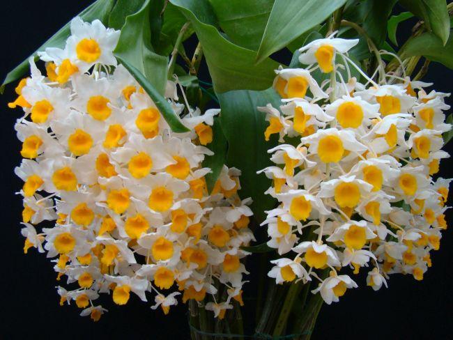 Orchidea különlegesség