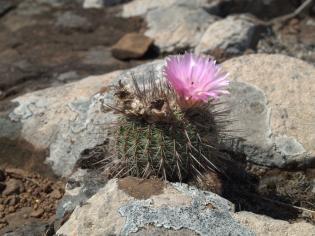 A pampák virágoskertje - Országos Tavaszi Kaktuszkiállítás és vásár a Füvészkertben
