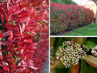 5 örökzöld növény, ami kiváló térelválasztó sövény lehet a kertben