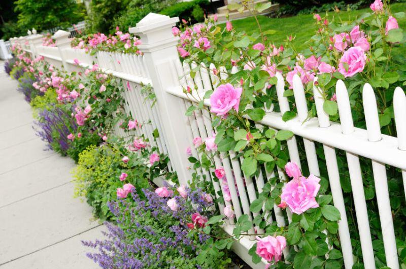Kerítésre futtatott rózsa