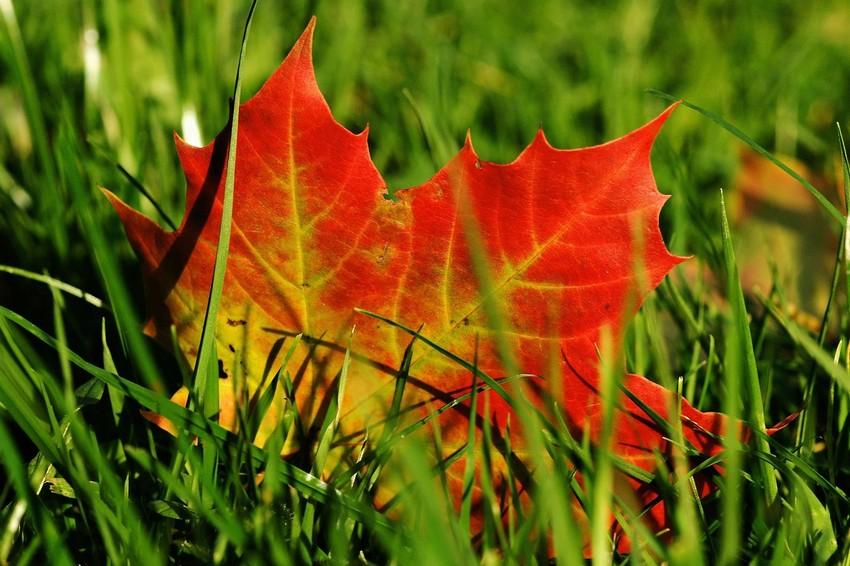 Őszi falevél a fűben