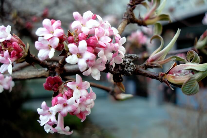 Kikeleti bangita télen is virágzik