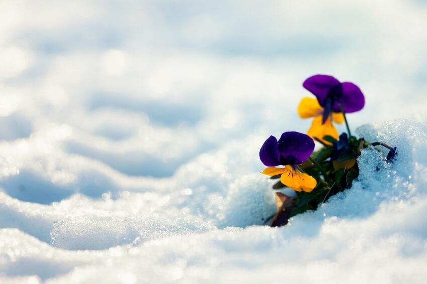 Kerti árvácska télen is virágzik