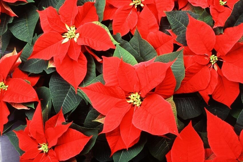 Piros mikulásvirág