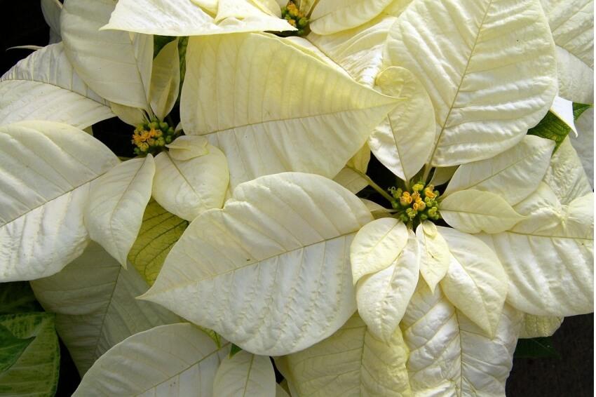 Fehér mikulásvirág