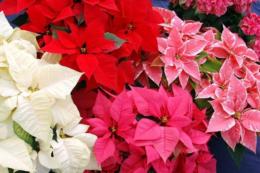 Mikulásvirág több színben