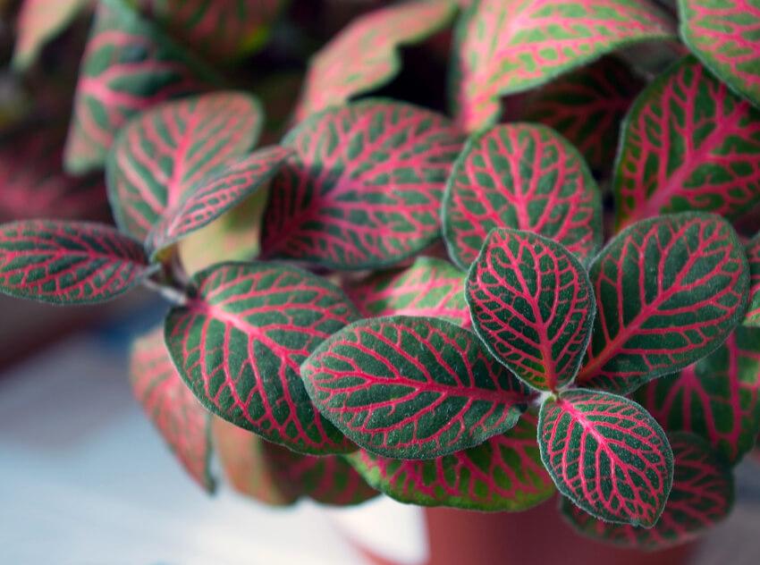 Hálóslevél szobanövény