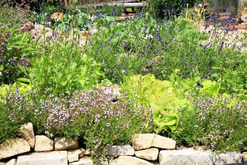 Buja kerti növények