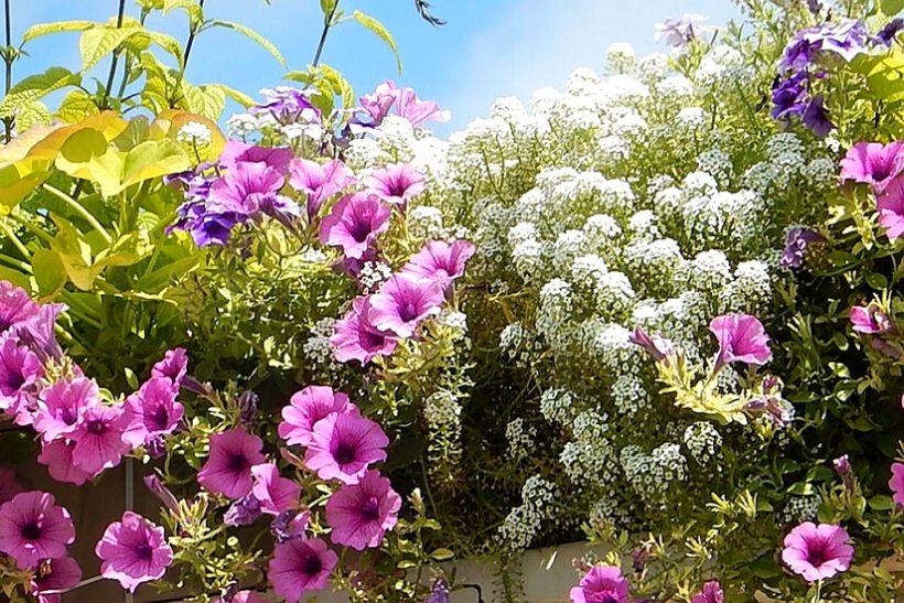 Egynyári növények a balkonon