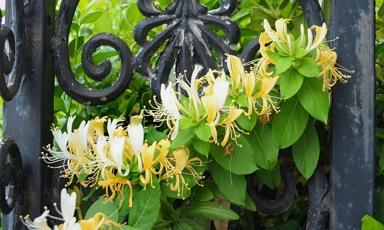 Ültess loncot, ha szereted az illatos és színes burjánzó virágerdőt!