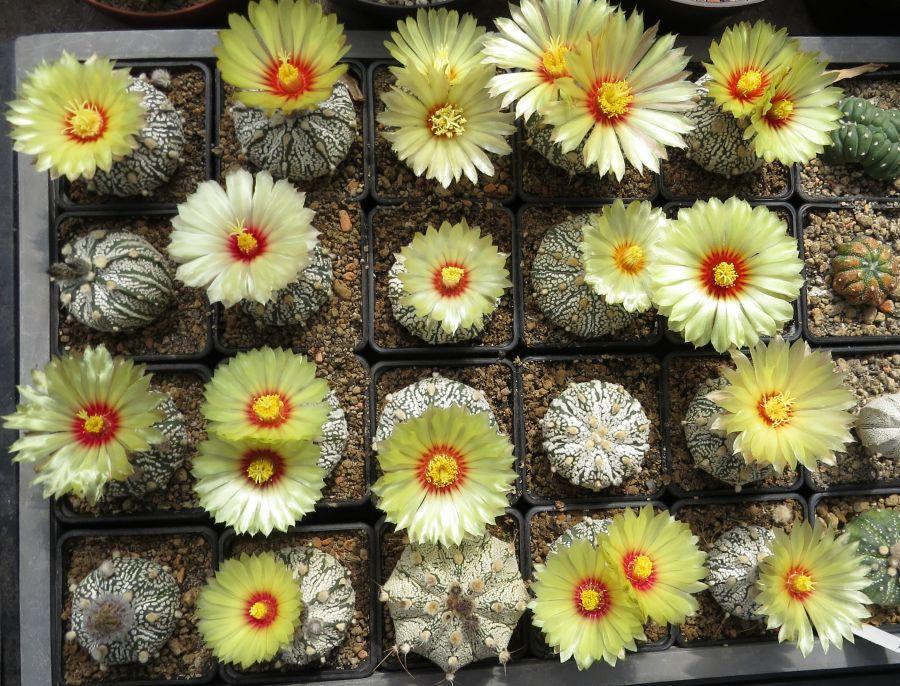 Astrophytum hibrid kaktuszok
