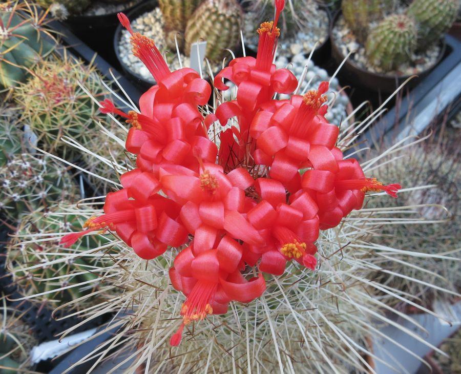 Mammillaria setispina kaktusz