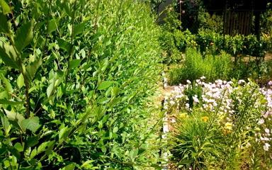 Jön az ősz, most ültess sövényt - mutatjuk a leggyorsabban növő fajtákat