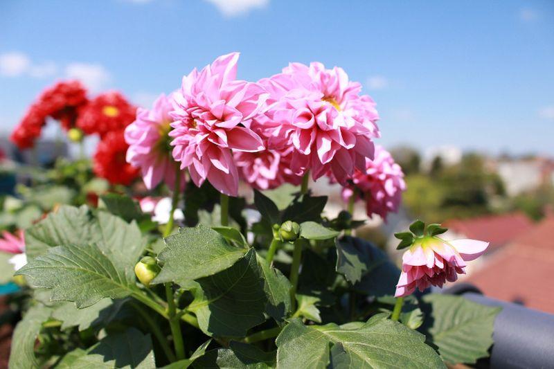 Fagyérzékeny hagymás, gumós és rizómás növények