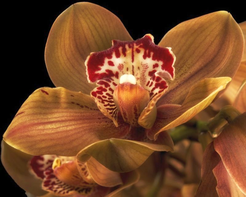 Barna Orchidea
