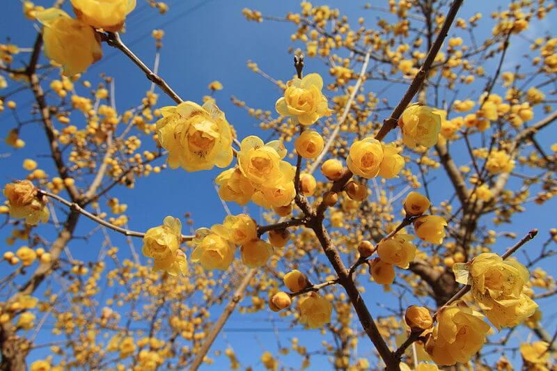 Téli sárga virág