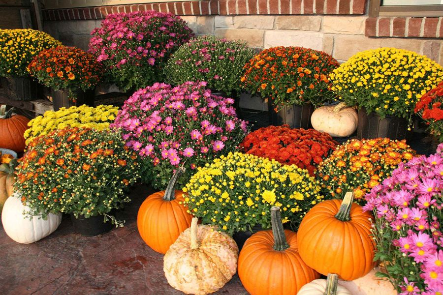 Krizantém őszi színekben