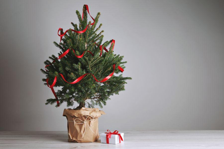 Élő cserepes, földlabdás fenyőfa, karácsonyfa